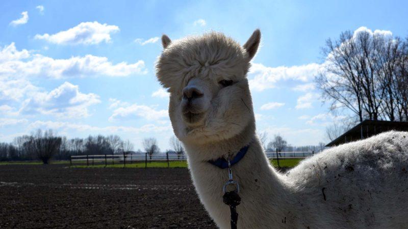 Travel Tip: Alpaca wandeling in Zeeuws-Vlaanderen | Zeeland