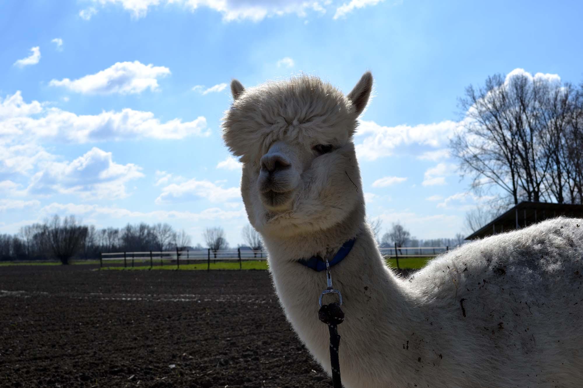 Travel Tip: Alpaca wandeling in Zeeuws-Vlaanderen   Zeeland