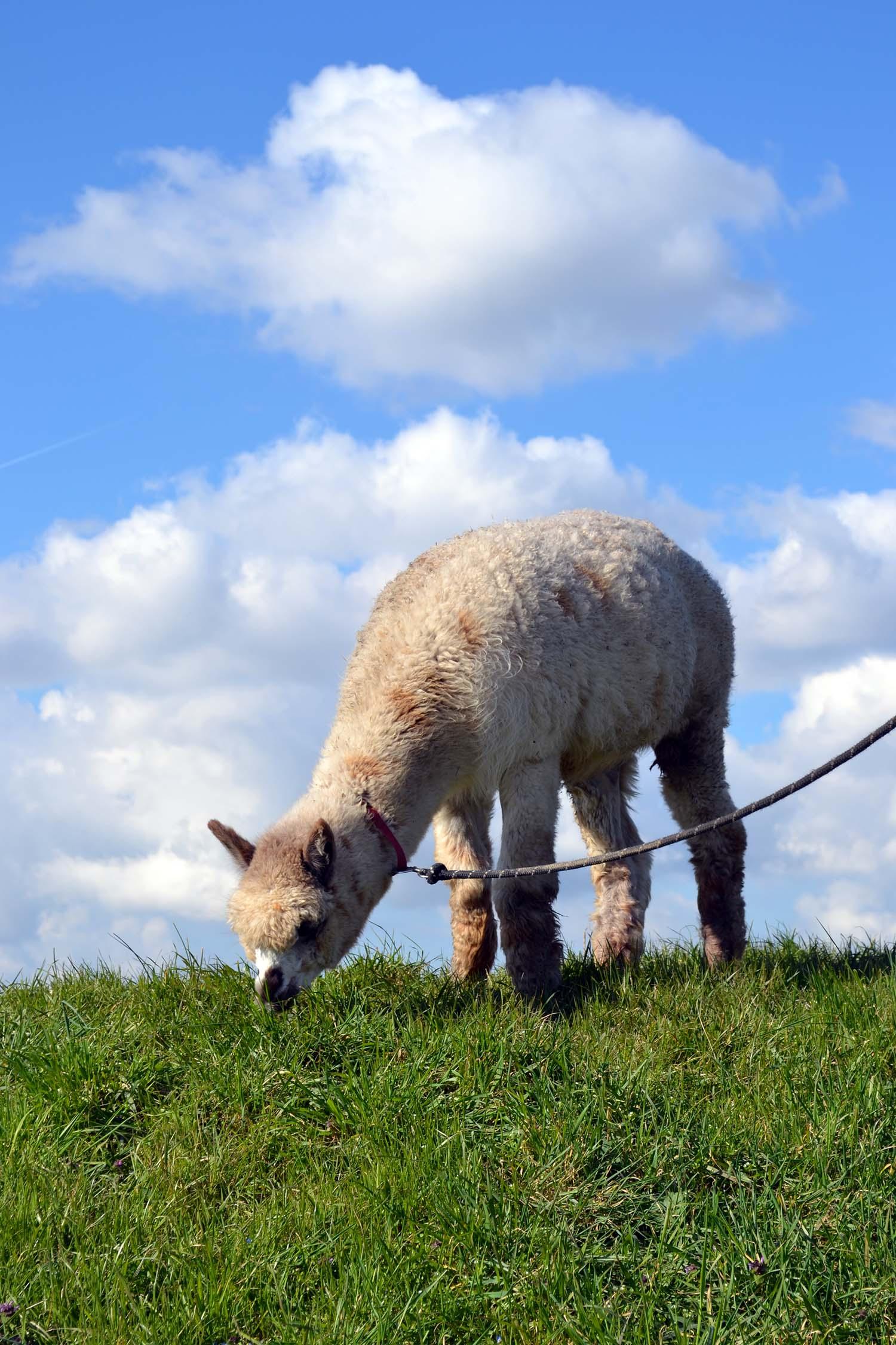 Travel Tip: Alpaca wandeling in Zeeuws-Vlaanderen   Zeeland - Zeeland 2